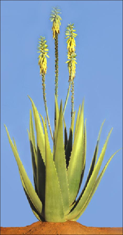 Aloe Barbadensis Miller Flower Google Search Forever