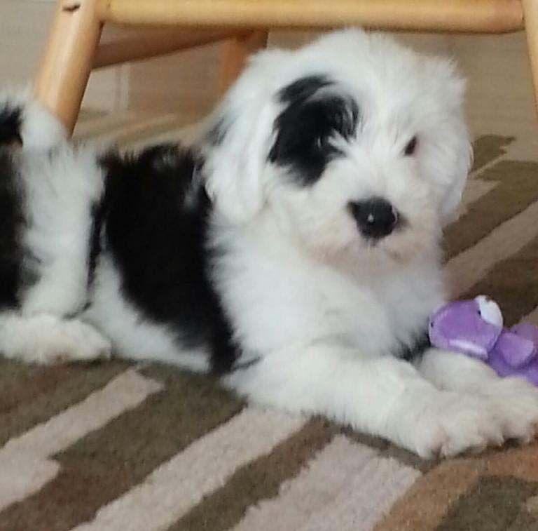Tibetan Terrier Puppies For Sale Minneapolis MN Tibetan