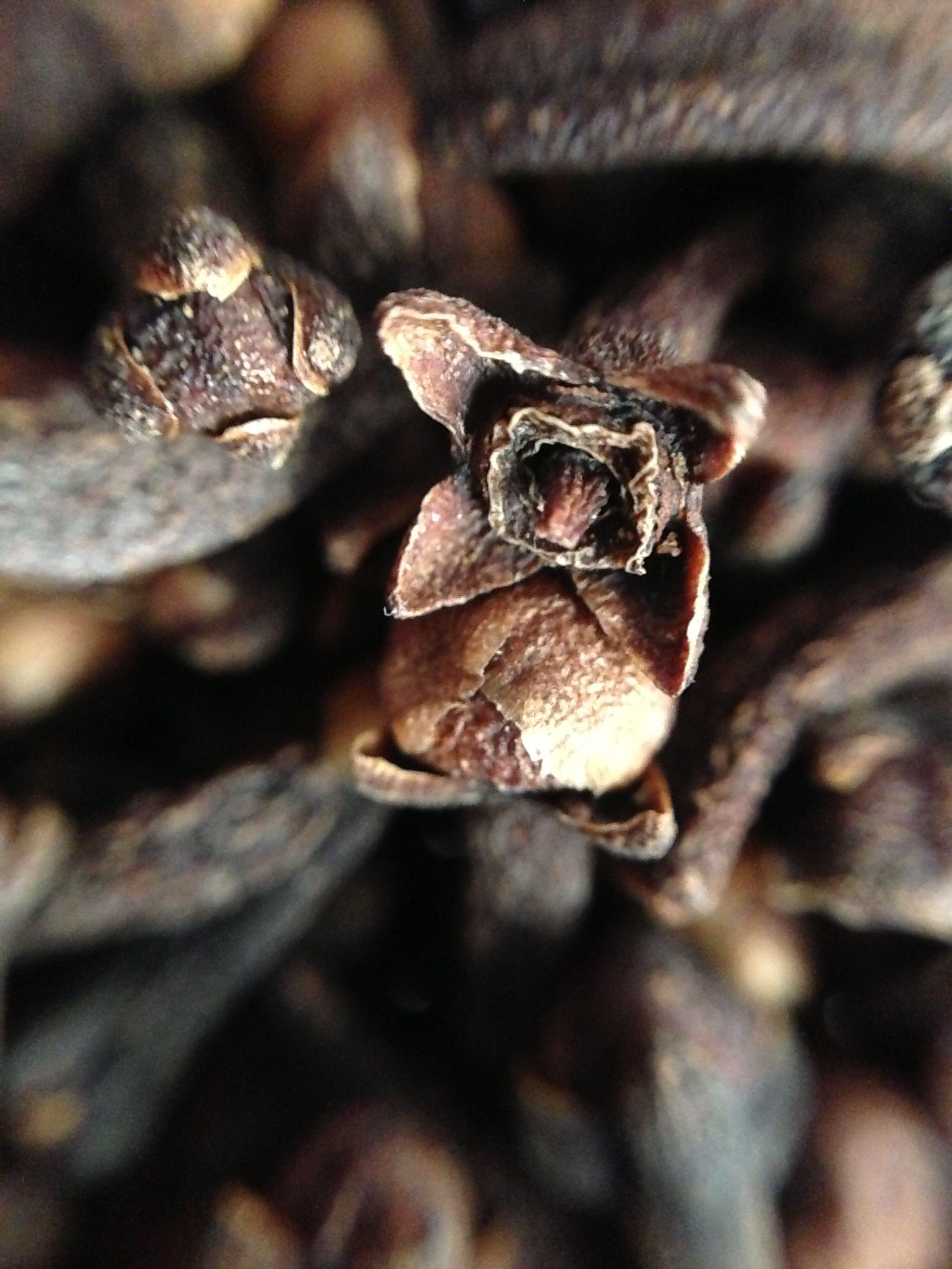 syzygium aromaticum buds