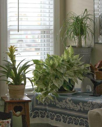 窓辺に置かれた斑入りのポトス。 お部屋を和らいだ雰囲気にしてくれそうです♪