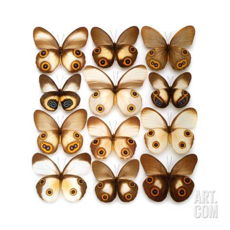 Taenaris Butterflies Photographic Print