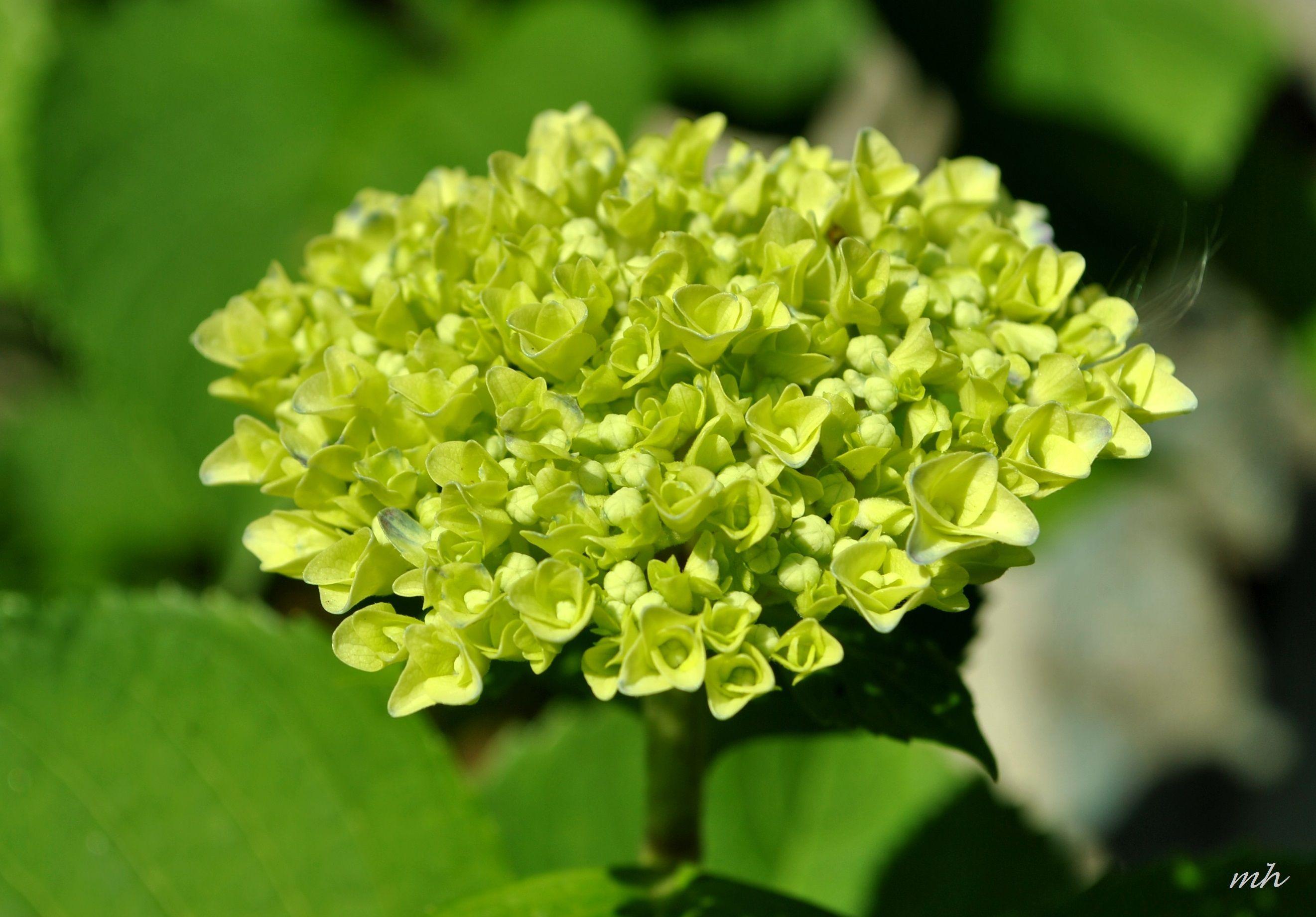 green chrysanthemum - Google Search