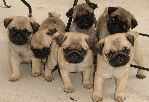 Pugs Family Cute Pugs Baby Pugs Cute Animals