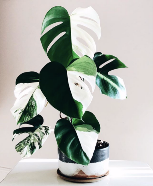 Variegated Houseplants You Can Actually Afford - That Planty Life