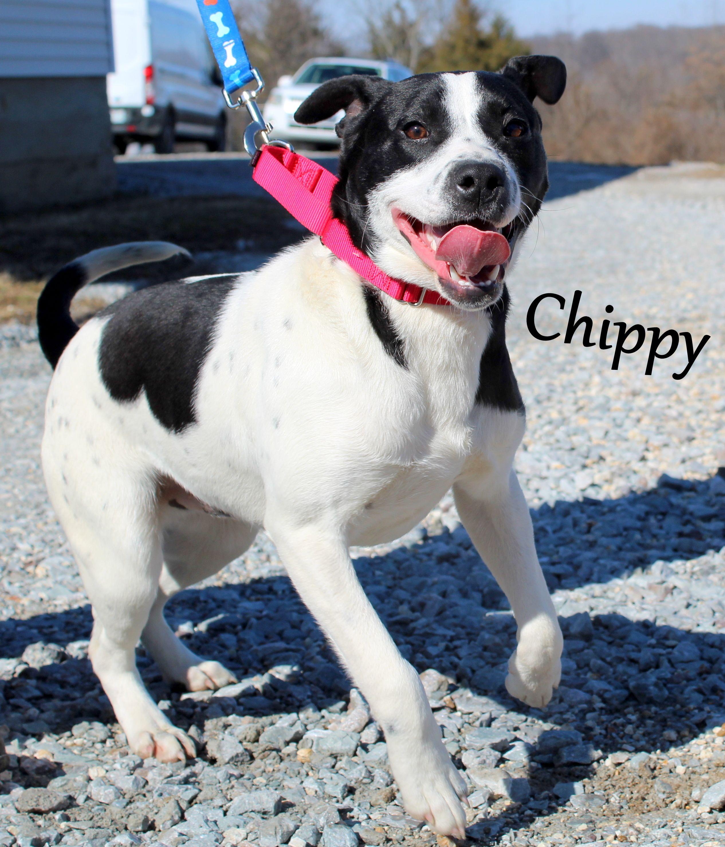 Adopt Chippy on Pets, Boston terrier, Dog adoption