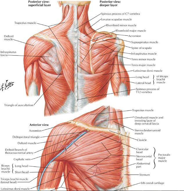 Upper Body Anatomy | Massage | Pinterest | Body anatomy, Upper body ...