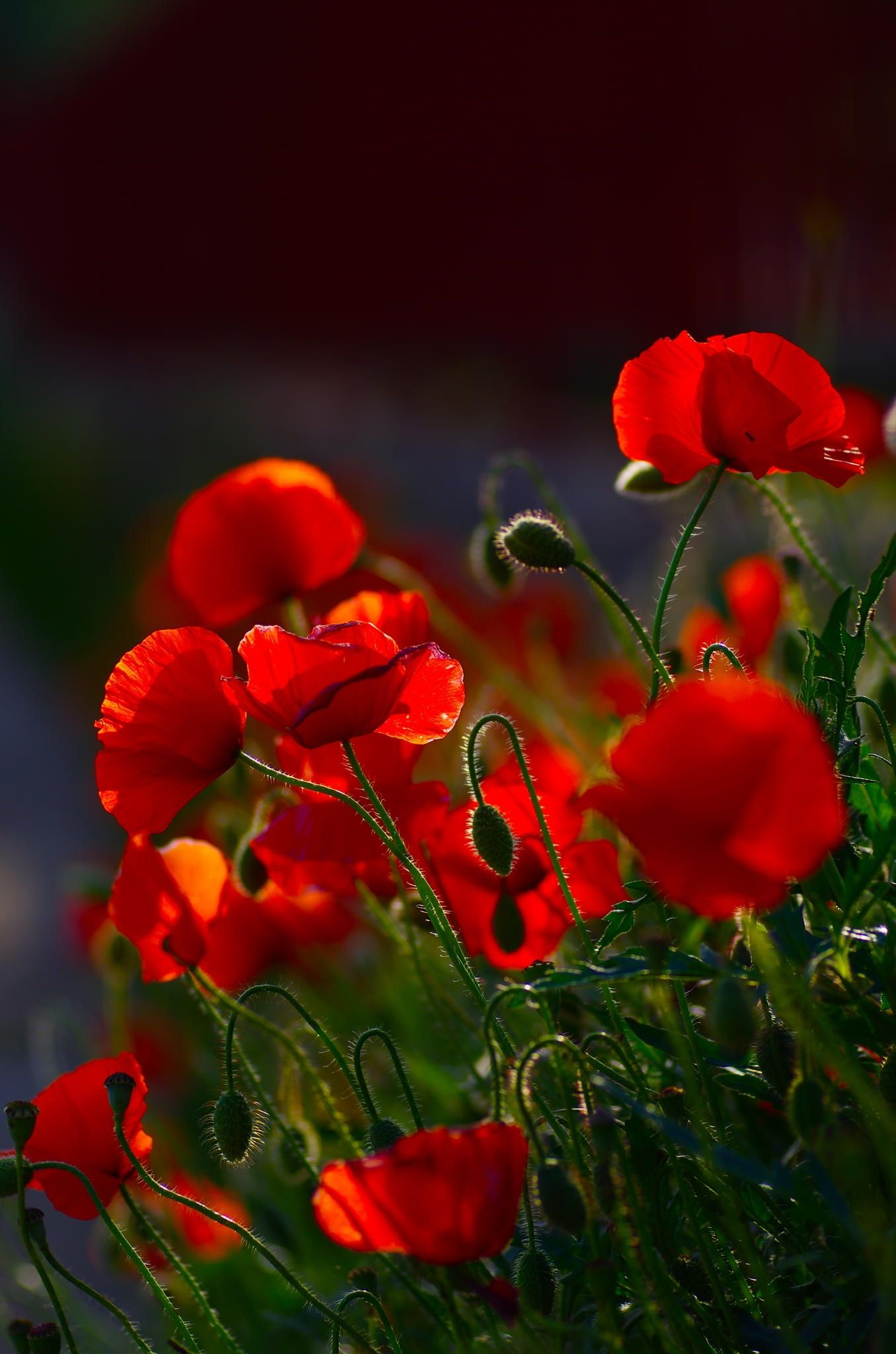 Poppies flowers pinterest flowers gardens and flower poppies fever by vincent dubarry exotic flowers mightylinksfo Choice Image