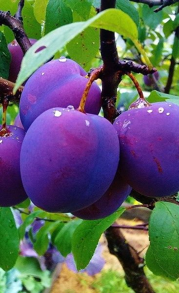 Purple And Green Plums  Meyve Aalar, Meyve Bahesi, Meyve-7676