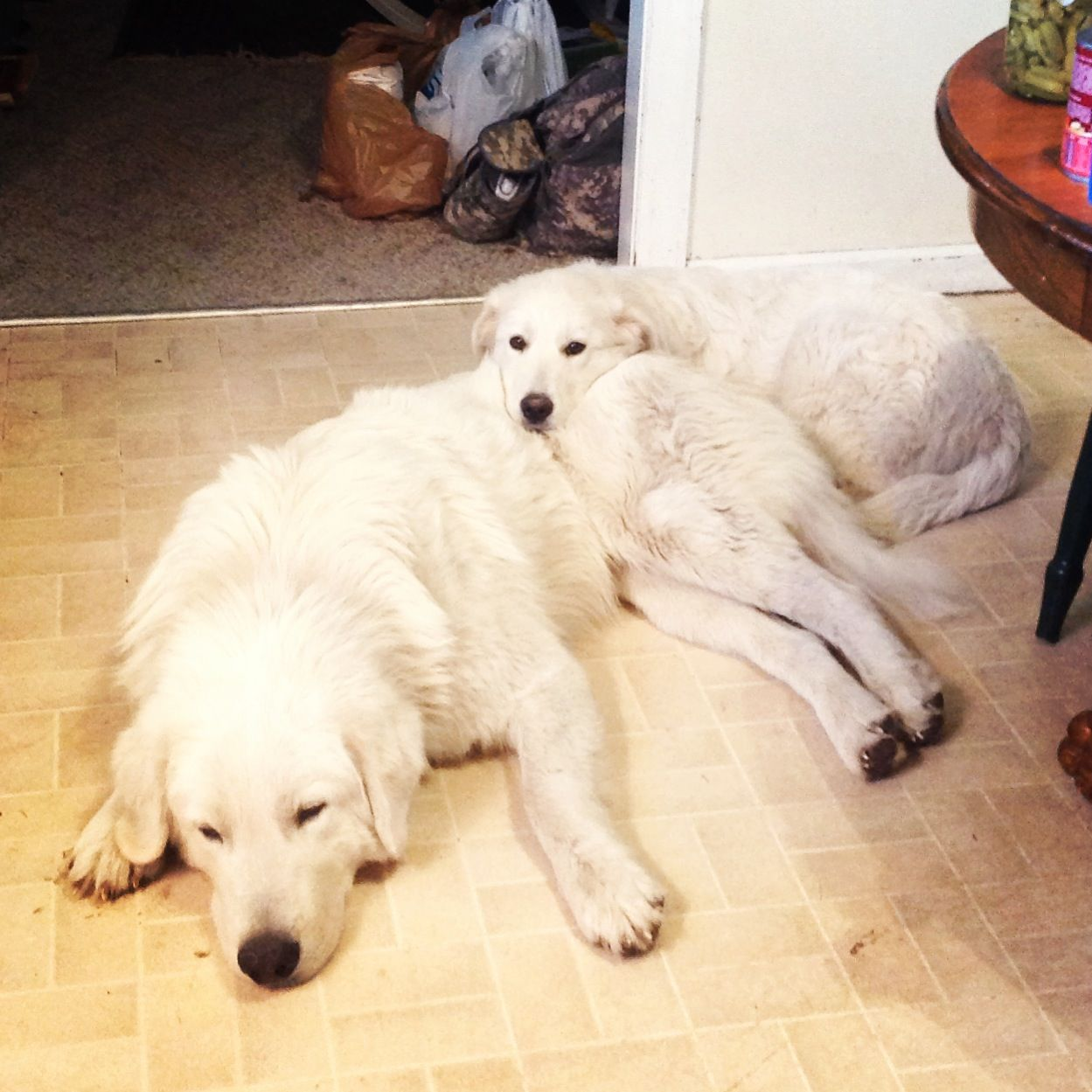 Josey and Ghita! (Maremma Sheepdogs)