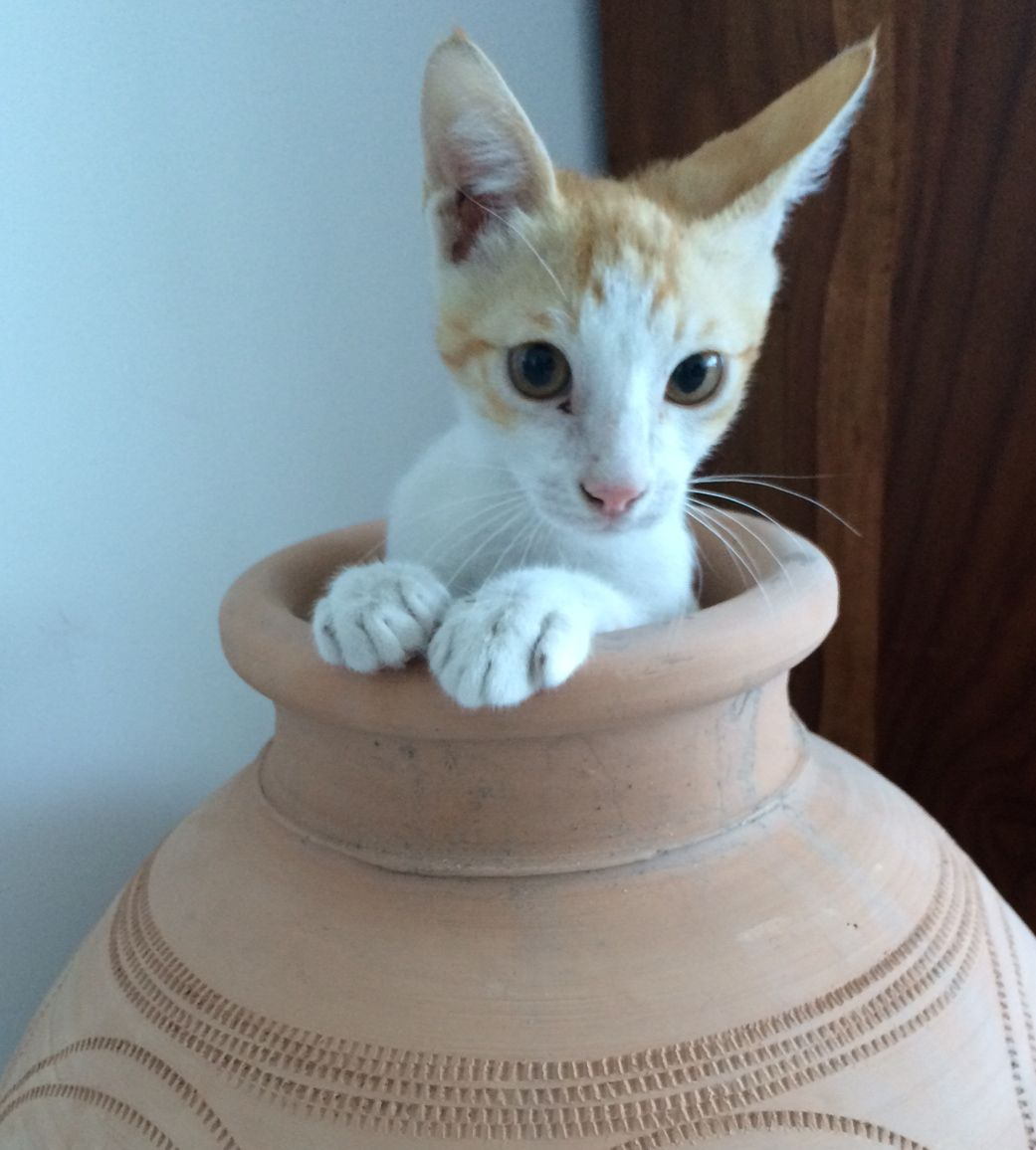 Pin On Cats3 Unusual Exotic Breeds