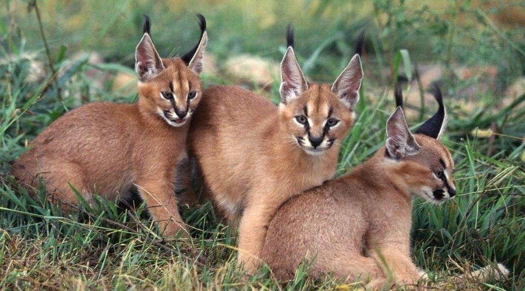 This Strange Wild Cat Is Called A Caracal… And It Might