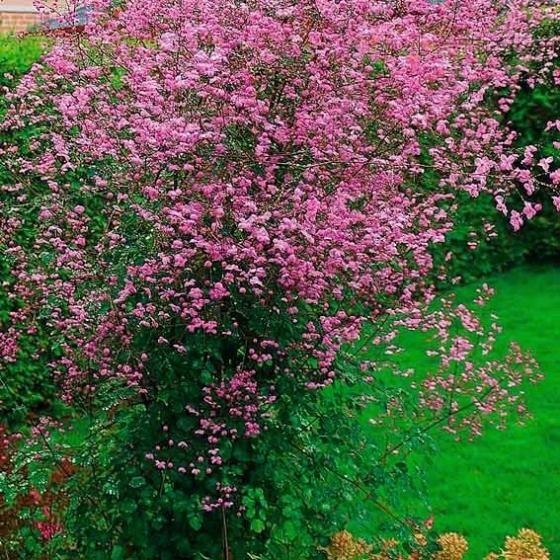 Wiesenraute Splendide pflanzen Pinterest Pflanzen, Gärten - bauerngarten anlegen welche pflanzen