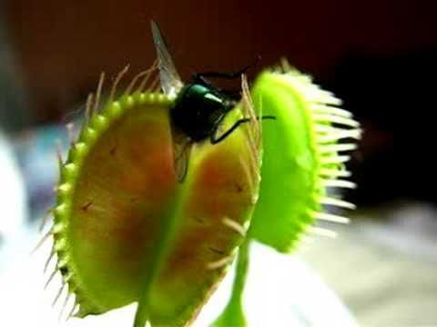 Venus Flytrap Eating A Fly Alive Youtube 7th Grade Sciencebju