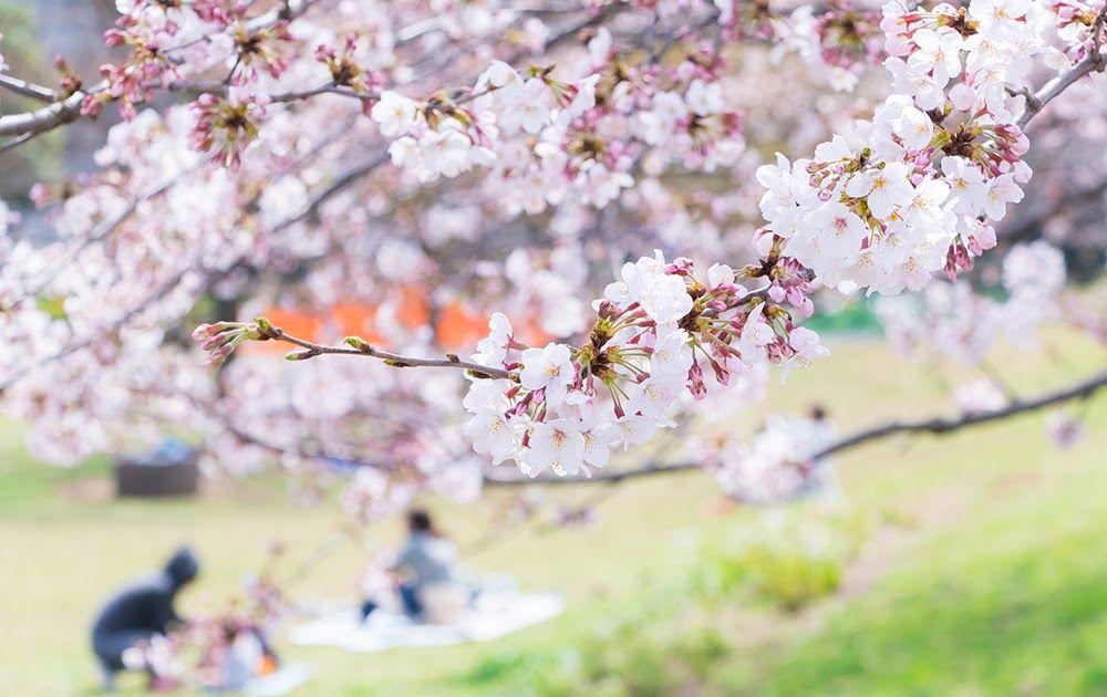 Gambar Musim Bunga Sakura Perbedaan Antara Bunga Plum Bunga Persik Dan Bunga Sakura Aneka Musim Bunga Di Jepang Flowerbee Bunga Sakura Bunga Gambar Bunga