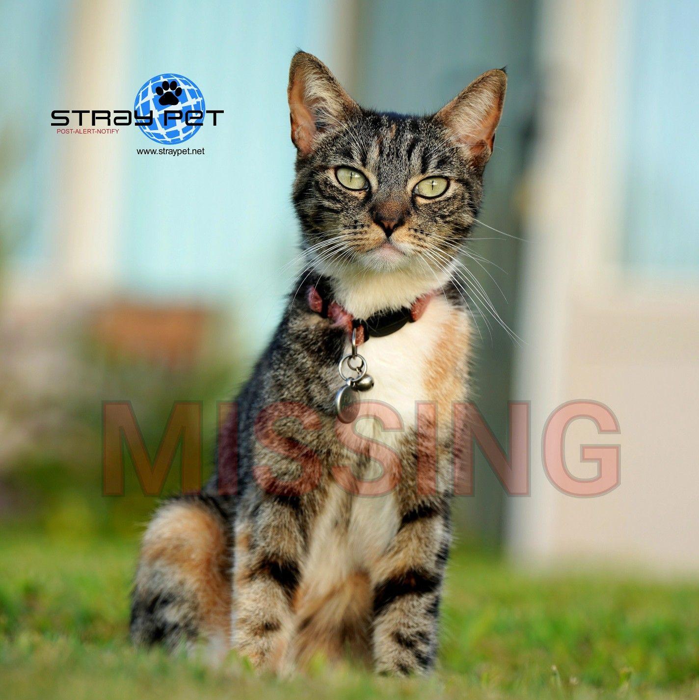 Stray Pet Alert Missing Tiger Stripe Cat Kaanapali Hi 96761 Straypethawaii Lost Dog Lostpuka Https Straypet Net Pet Name Puka Age Pets Cats Animals