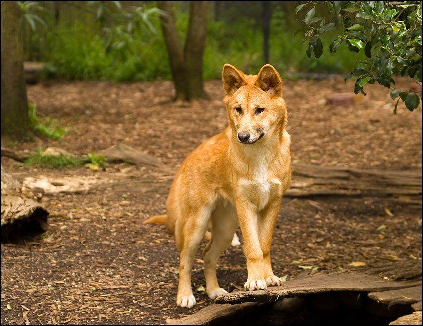 Dingo in Phillip Island Wildlife Park, Australia.