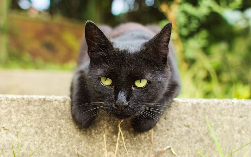 Names For Black Cats With Green Eyes Cat Allergies Cat Noises Names For Black Cats