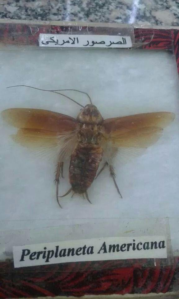 الصرصور الامريكي Insects Moth Animals