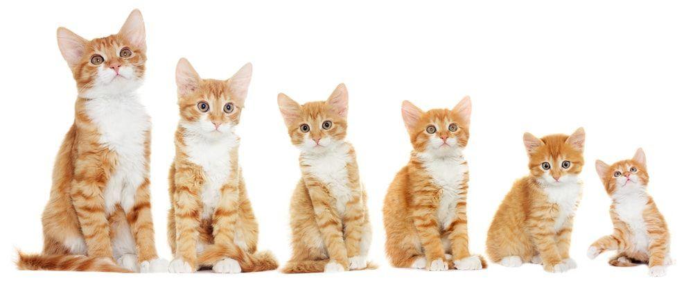 When Do Cats Stop Growing Http Pets Ok Com When Do Cats Stop Growing Cats 5260 Html