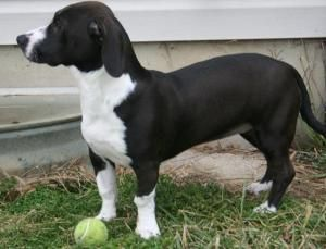 Adopt Bessie On Basset Hound Dog Hound Dog Border Collie