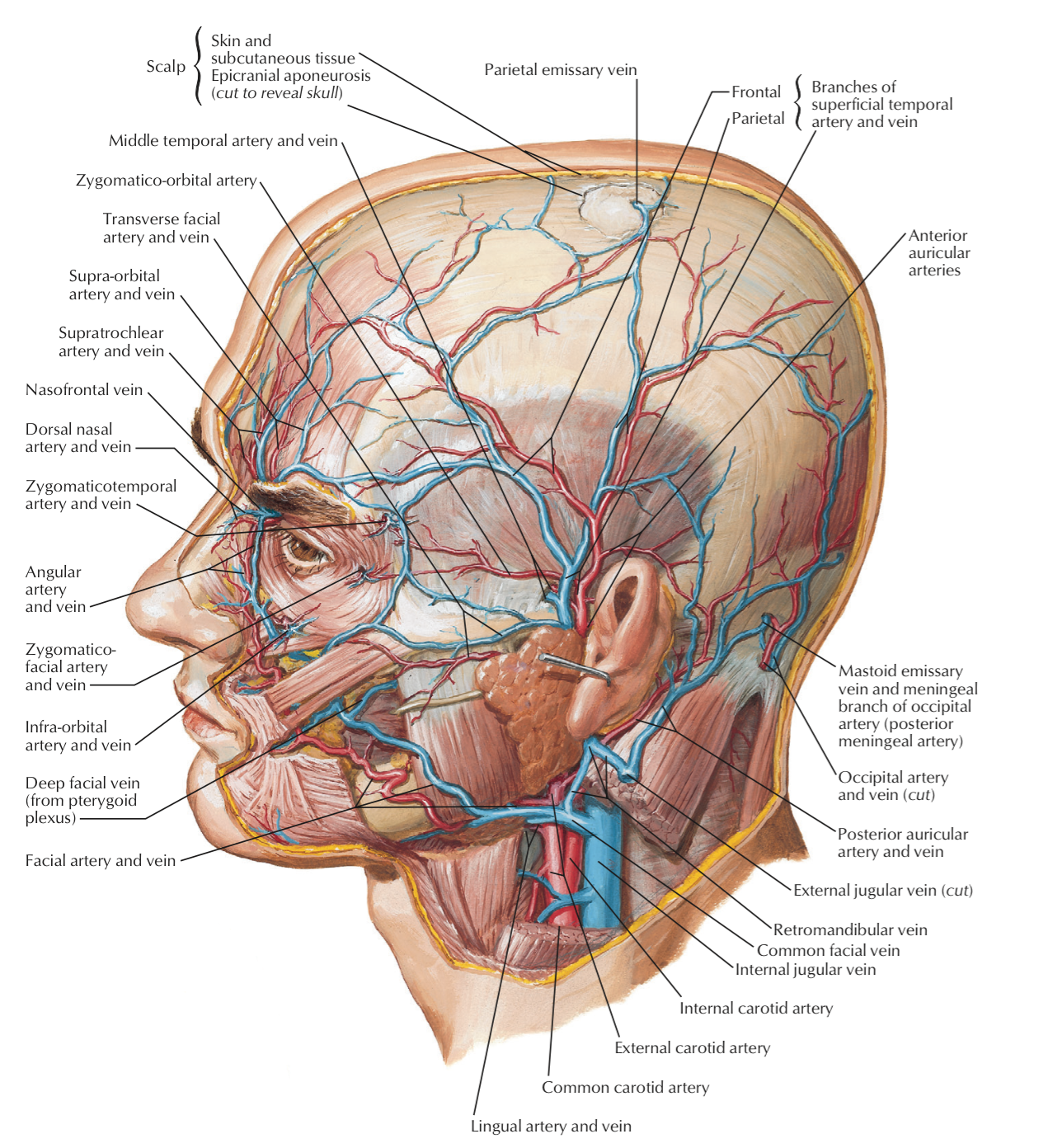 netter atlas of human anatomy online | Head and neck | Pinterest ...