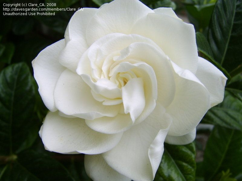 One Of The Largest Gardenia Flowers Available Blooming In December Flowers Gardenia Beautiful Flowers