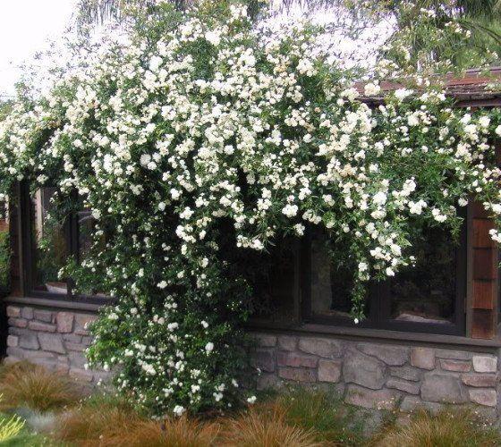 Lady Banks White Climbing Rose Banks Rose and Gardens