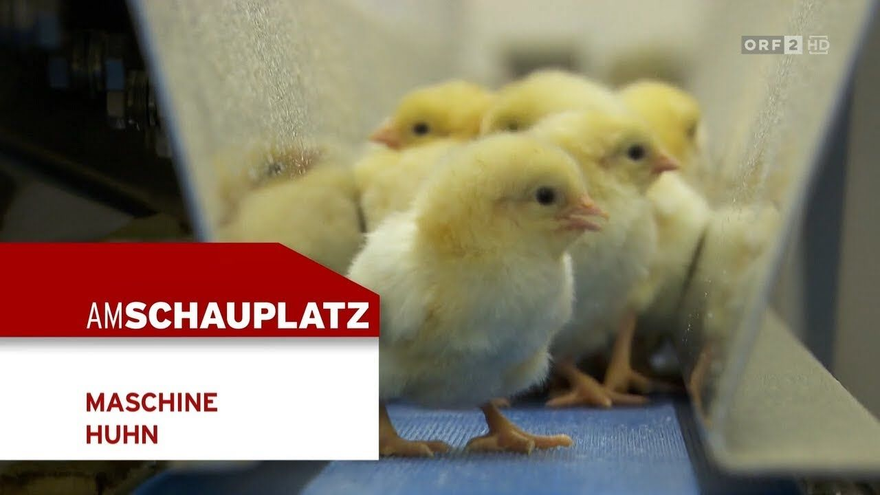 Maschine Huhn Am Schauplatz Huhner Huhnerfleisch