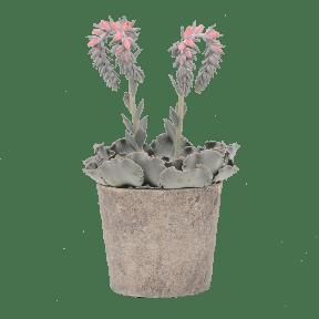 Echeveria Cheyenne In Keramieken Pot Van Aldi Planten