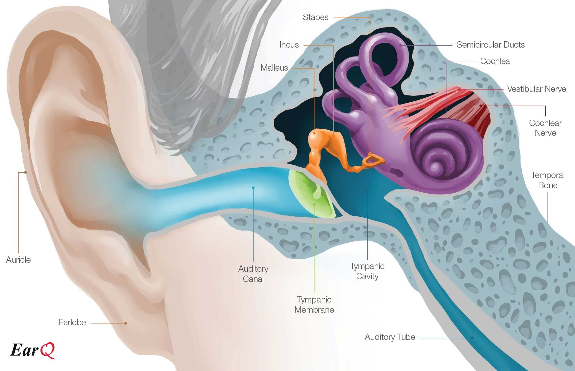 Earq Anatomy Of The Ear Chart With Images