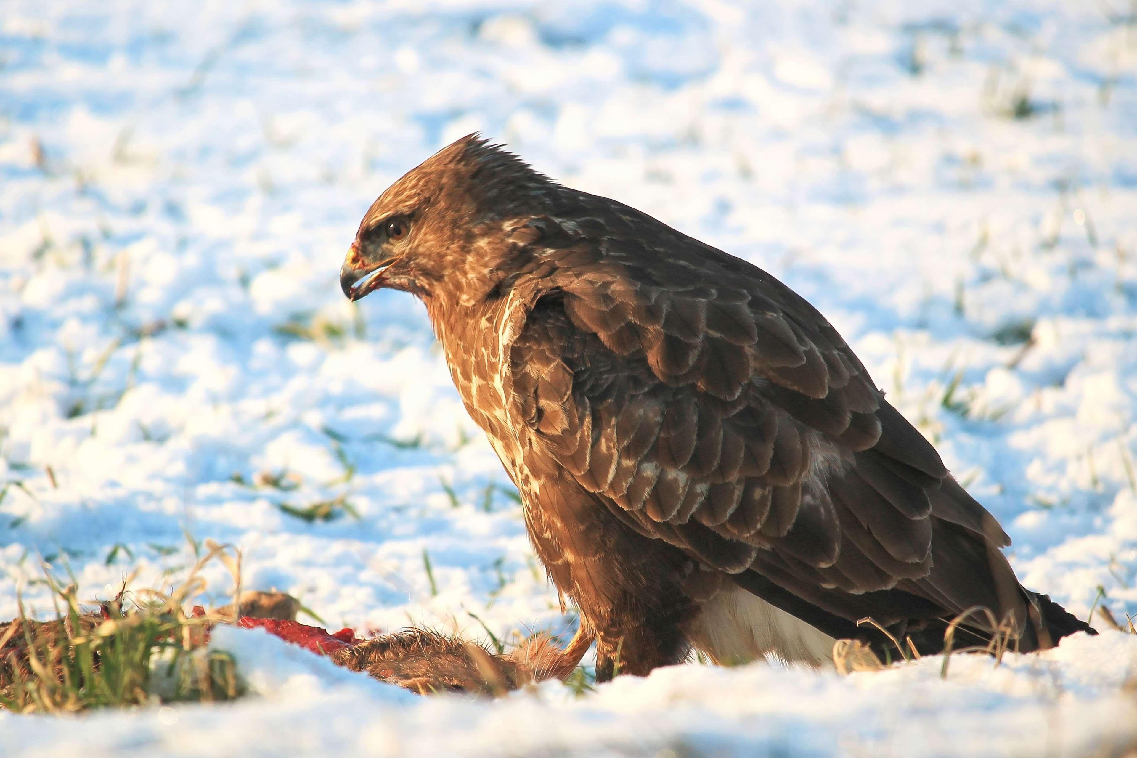 Обои eagle, beak, the, клюв, winter. Животные foto 12