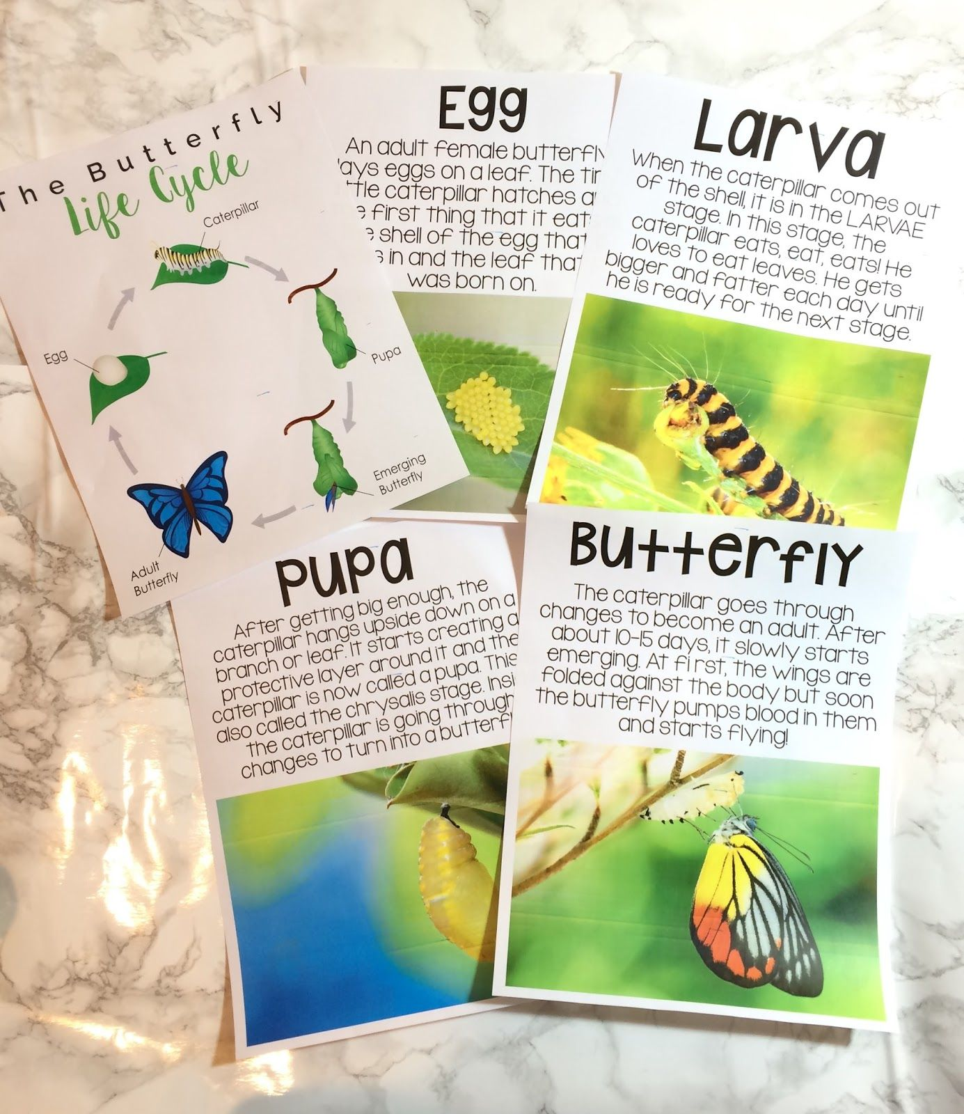 Butterfly Life Cycle Fun