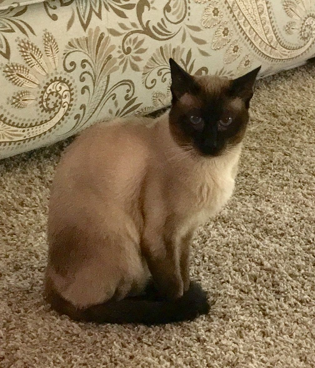 Siamese Cats For Sale Reading Pa Siamese Cats For Sale Cats For Sale Siamese Cats