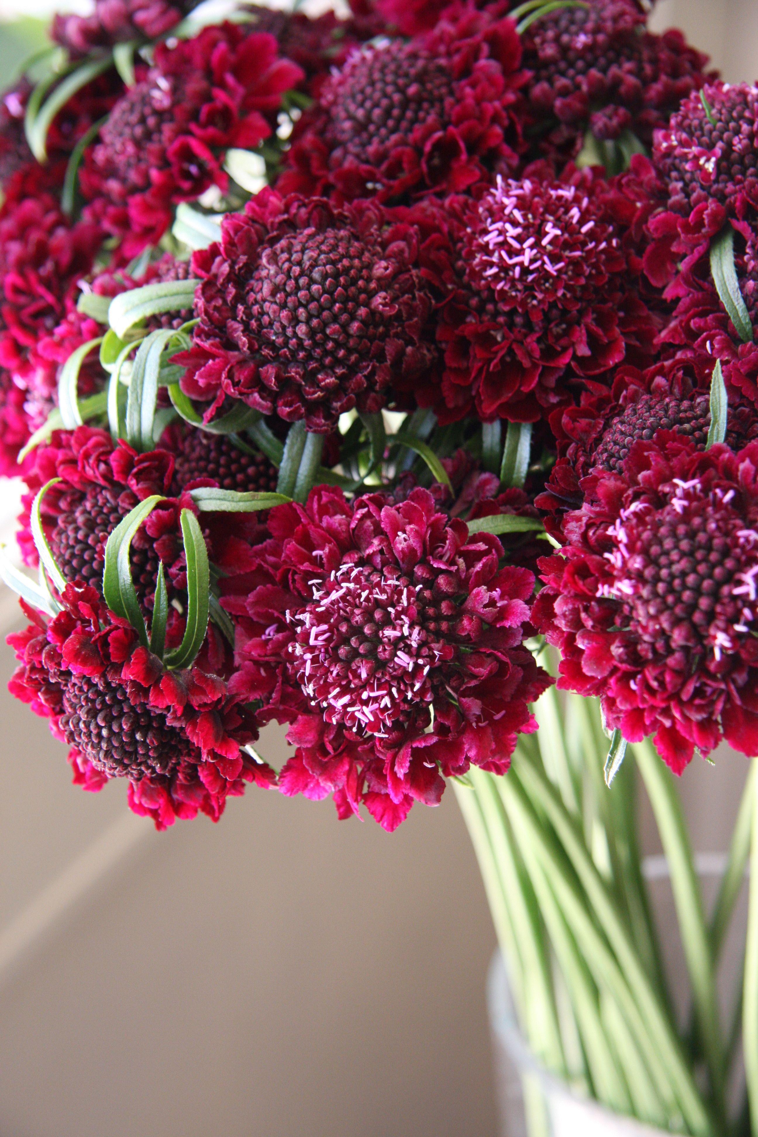 Scabiosa classic wine bouquet fleurs jolis bouquets for Bouquet de fleurs wine