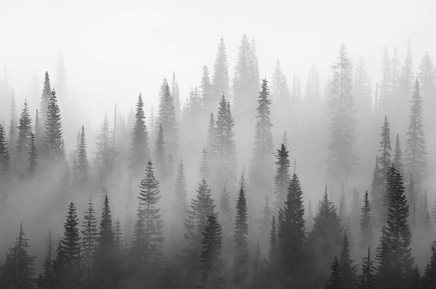 Black And White Misty Forest Wallpaper