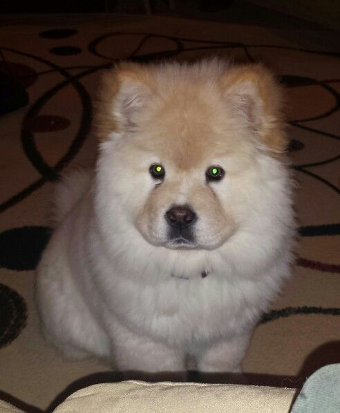 Aspen Girl Chow With Images Chow Chow Dogs Animals