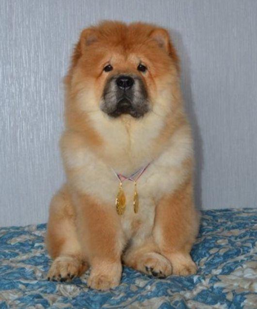 Chow Chow Hund Der Den Rand Des Himmels Leckte En