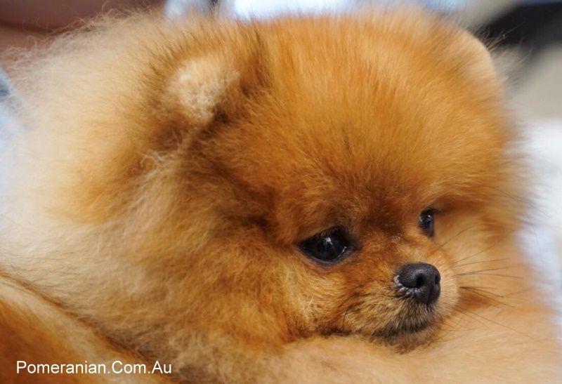 Registered Breeders And Registered Pomeranian Puppies Pomeranian Australia In 2020 Pomeranian Puppy Pomeranian Breeders Pomeranian Puppy For Sale