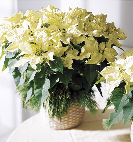 White Poinsettia For Decorating Christmas Flowers Poinsettia Centerpiece Winter White Decor