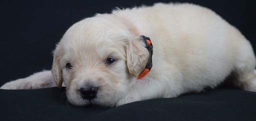 Litter Of 7 Goldendoodle Puppies For Sale In Omaha Ne Adn 30815