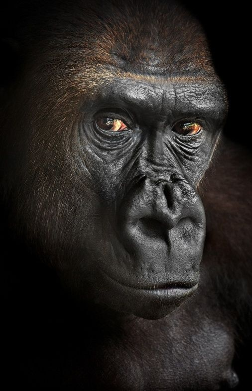 our cousin - A close-up of the Gorilla. Biopark, Valencia.