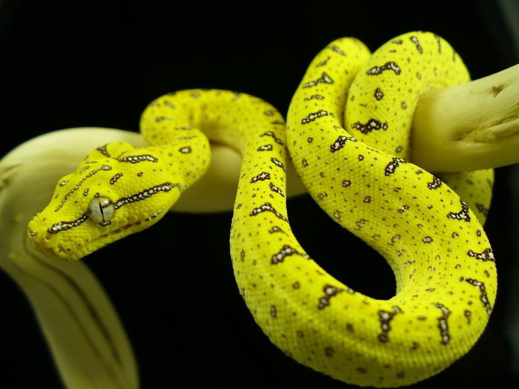 Green Tree Python Snake Beautiful Snakes Green Trees