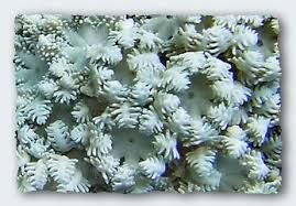 sea coral - Google Search