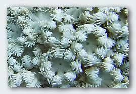 sea coral - Google Search