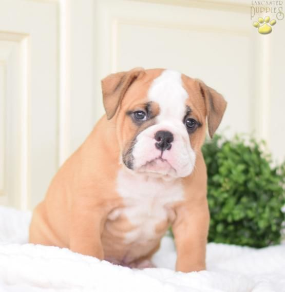 Prince English Bulldog Puppy For Sale In Millersburg Oh