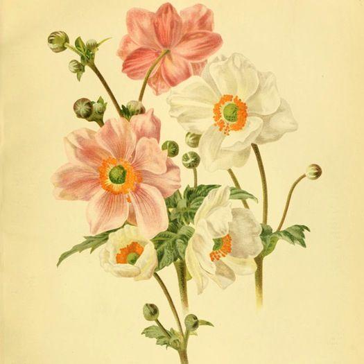 anemones-pink-and-white-1886.jpg (525×525)