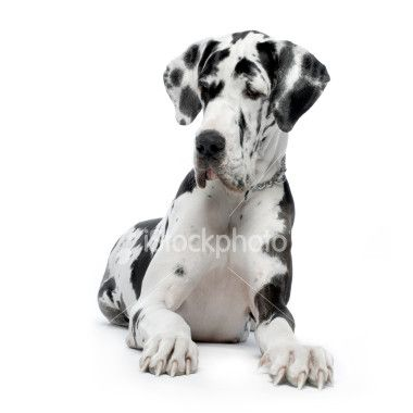 Great Dane Harlequin Sitting In Front Of White Background And