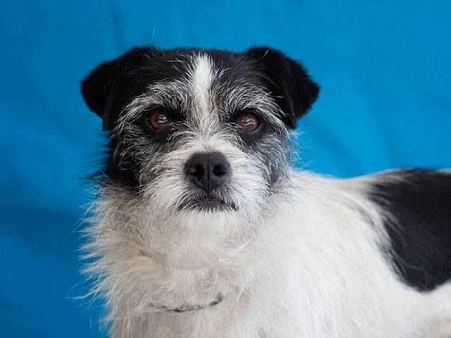 SAFE --- A4807792 Chuggaboom is a soulful five year old white and black male Terrier who was found in Whittier on March 12th without a collar, tag or microchip and brought to the Downey Shelter. Weighing eighteen pounds, Chuggaboom walks splendidly on leash and we think he is likely housebroken. https://www.facebook.com/DowneyShelter/photos/pb.134905989952663.-2207520000.1427410050./673442742765649/?type=3&theater