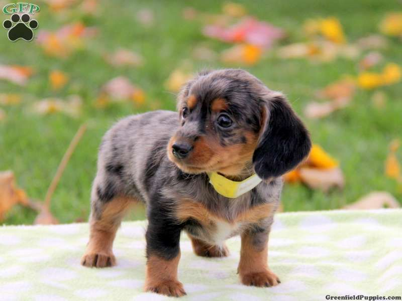 Sasha Dachshund Mix Puppy For Sale in Pennsylvania