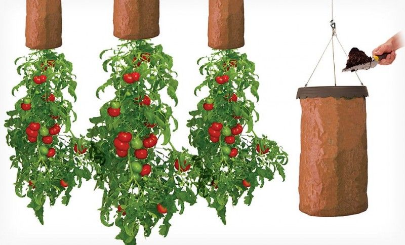 Grow tomatoes upside down in greenhouse from ceiling for Vertical vegetable garden